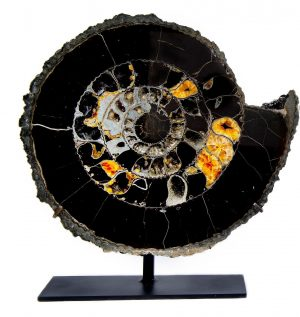 Ammonite Pair on Base