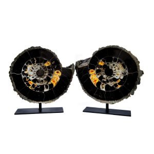 Ammonite Pair with Pyrite