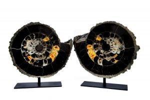 Ammonite Pair on Base