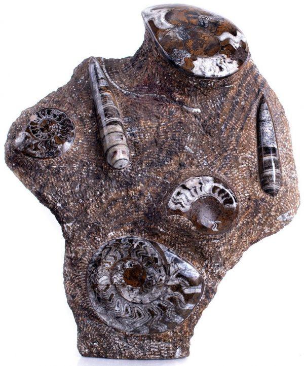 Ammonites & Orthoceras